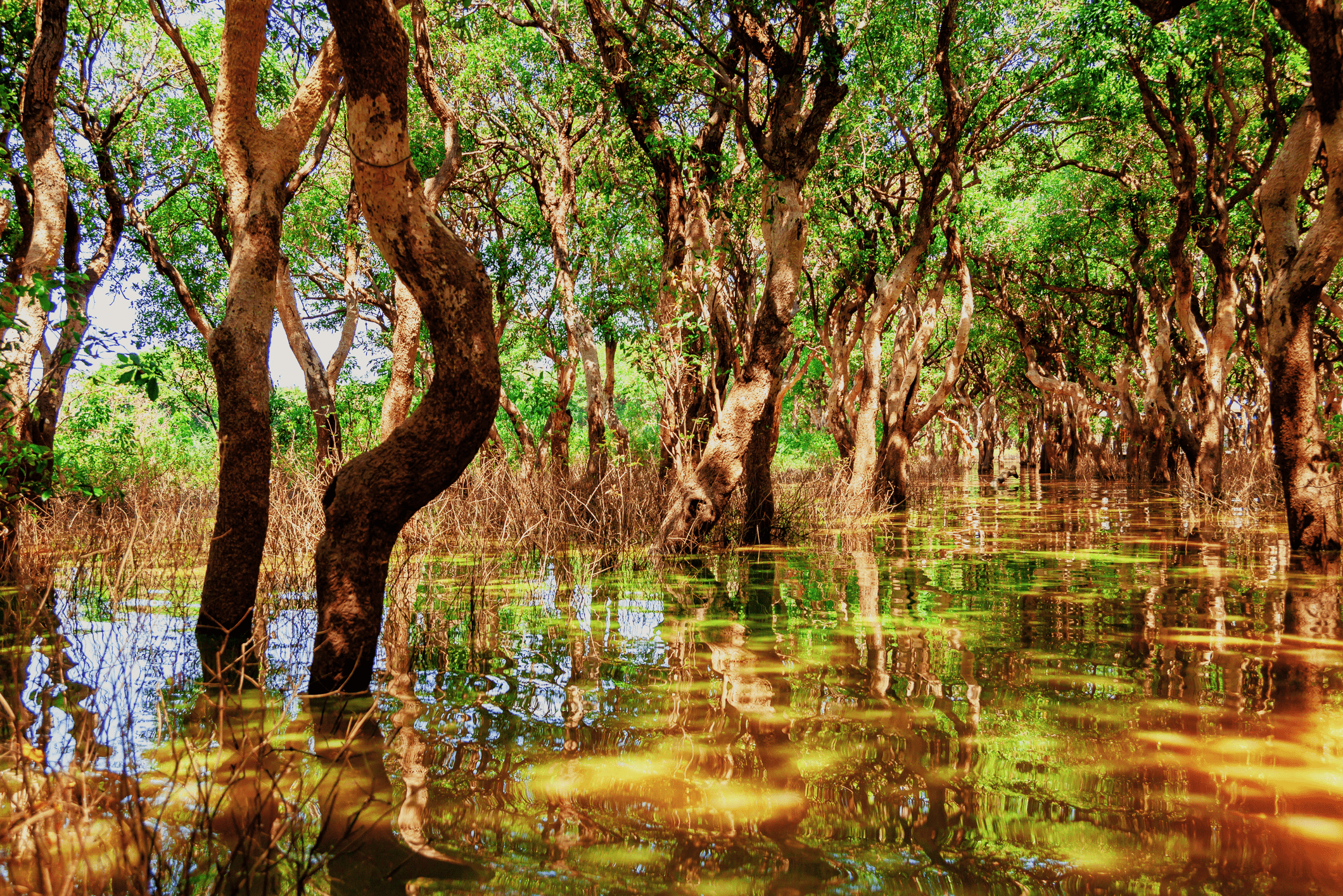 Mangrove trees in a stream.